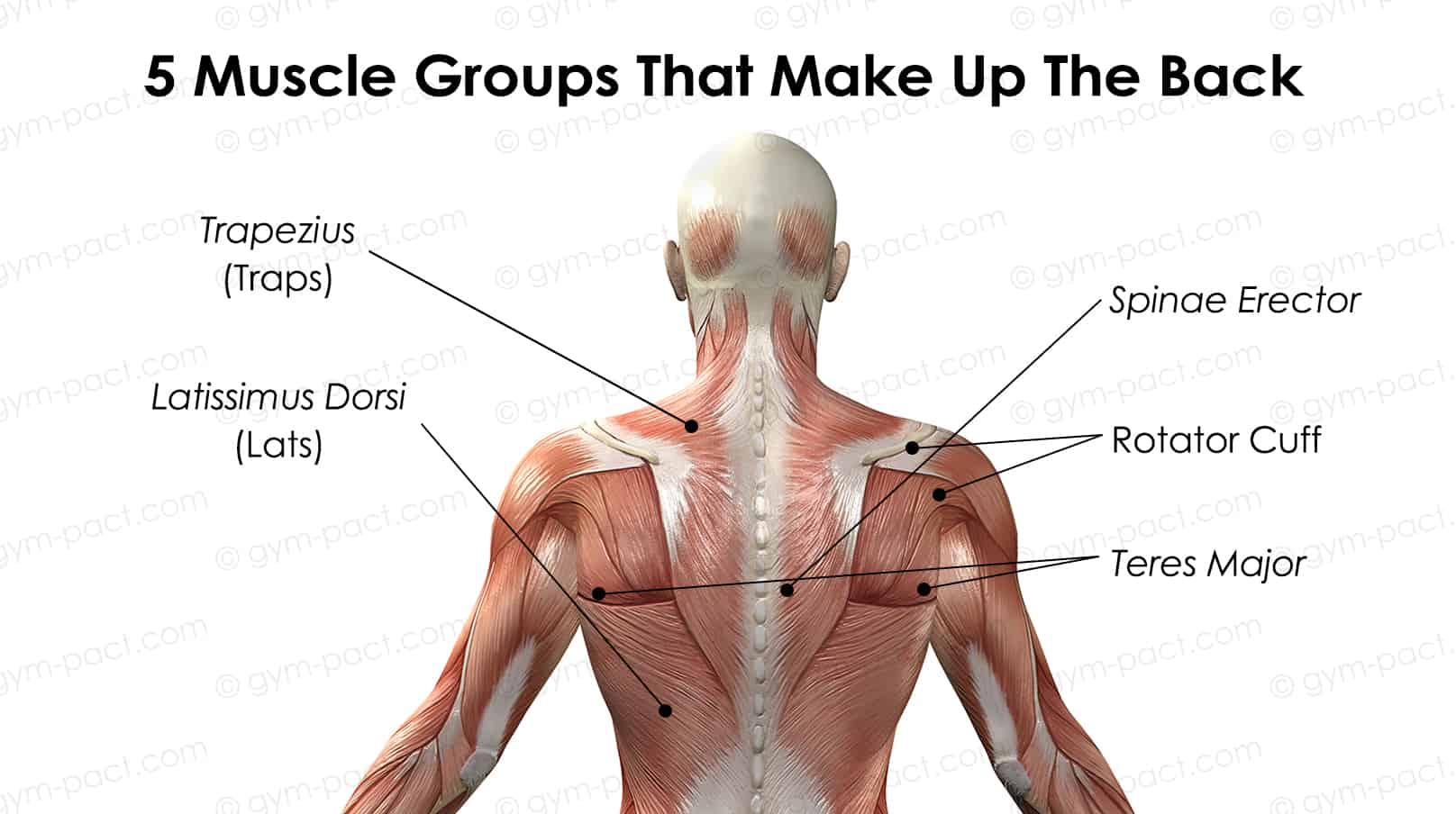 5 muscle groups that make up the back