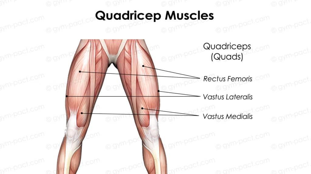 quadricep muscle anatomy