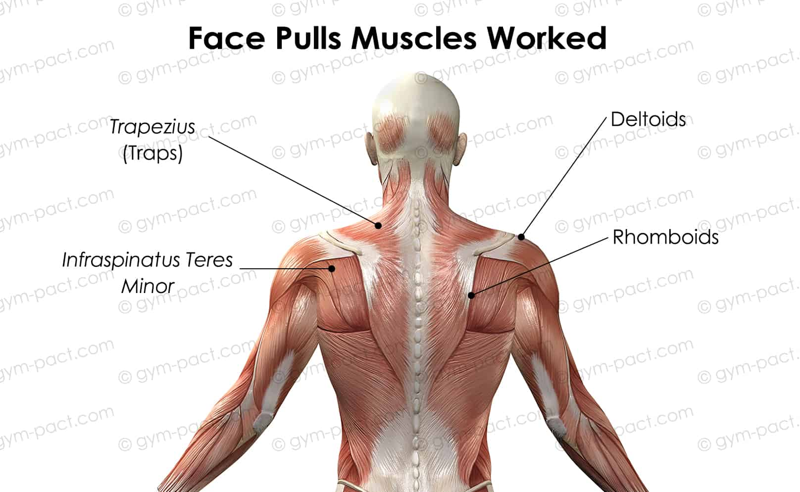 Face pulls muscles worked