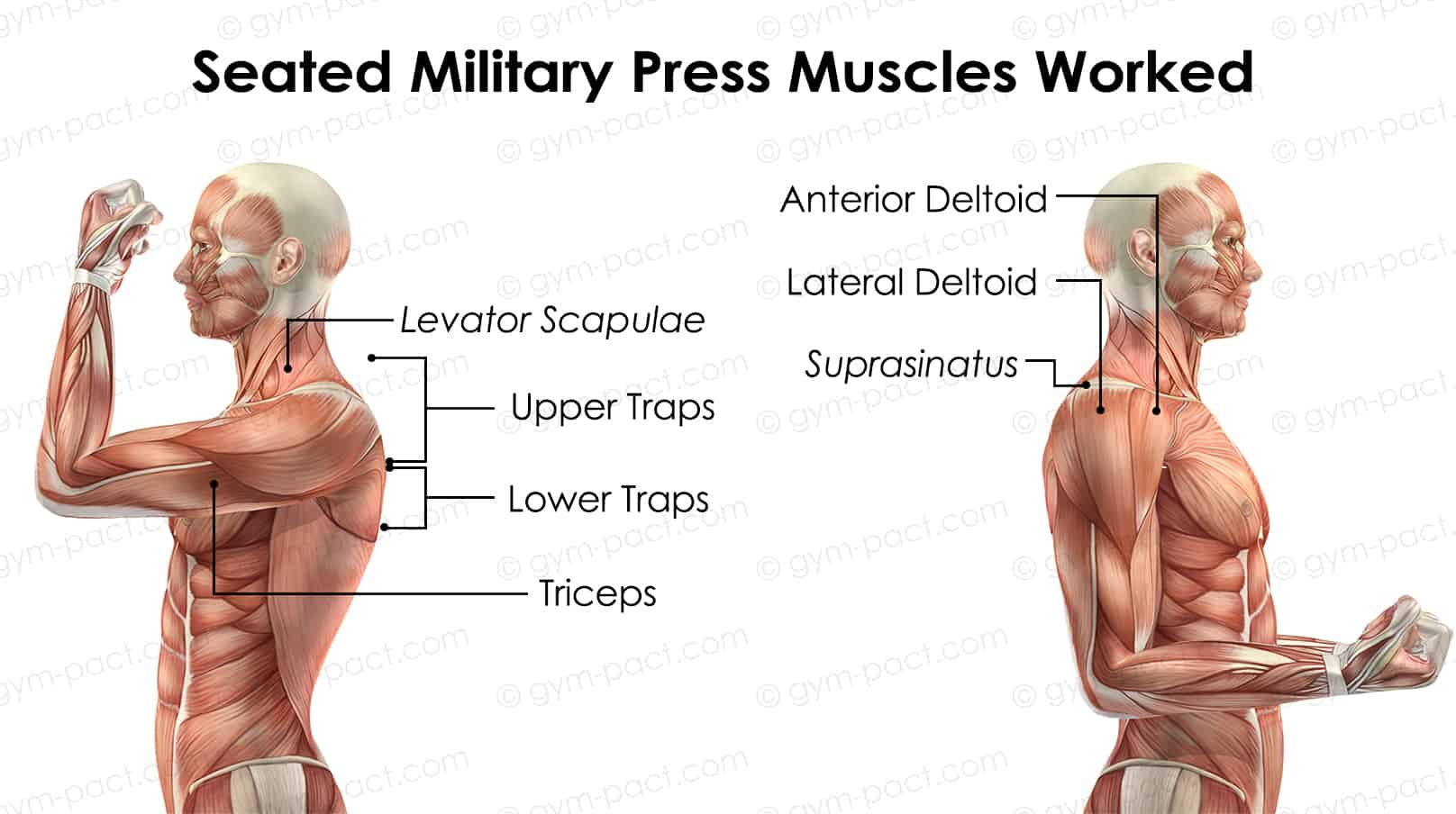 Seated Military Press Muscles Worked