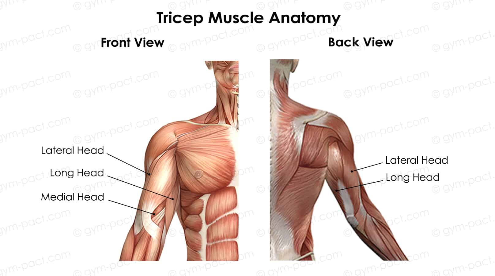 tricep pushdown muscles worked