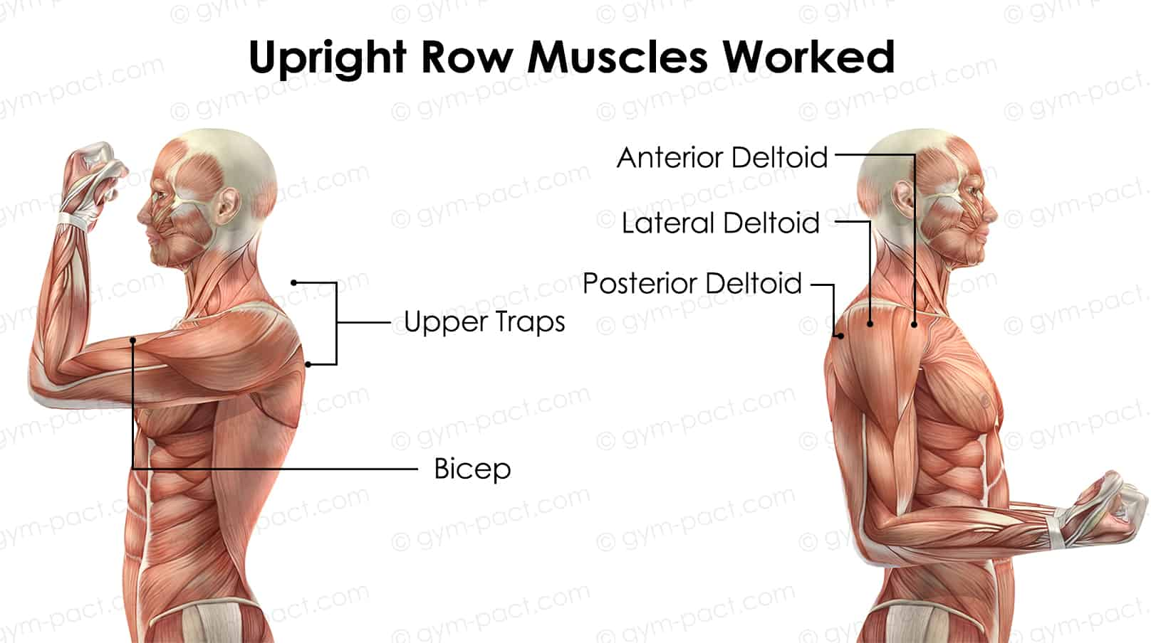 Upright Row Muscles Worked