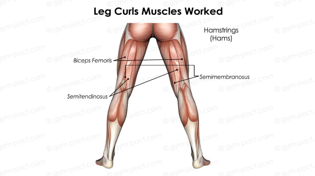 leg curls muscles worked