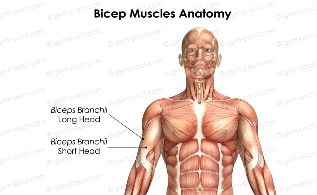 bicep muscles anatomy